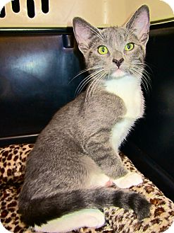 Domestic Shorthair Cat for adoption in San Diego, California - Katniss URGENT! FOSTER NEEDED