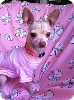 Chihuahua Dog for adoption in Irvine, California - NALA, tiny little deer!
