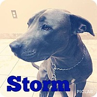 Adopt A Pet :: Storm - Nashville, TN