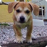Adopt A Pet :: 'RUMMY' - Brooksville, FL