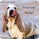 Adopt A Pet :: Bongo