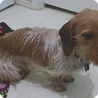 Adopt A Pet :: OZZIE - Portland, OR