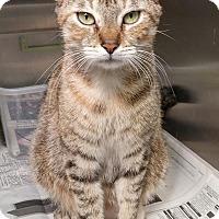 Adopt A Pet :: Dorito - Tinton Falls, NJ