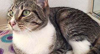Domestic Shorthair Cat for adoption in Rosamond, California - Yoda