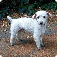 Adopt A Pet :: Spunky - Walnut Creek, CA