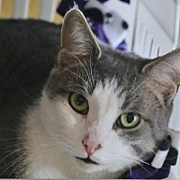 Domestic Shorthair Cat for adoption in Grand Blanc, Michigan - Freedom