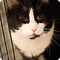 Adopt A Pet :: Boots - Grayslake, IL