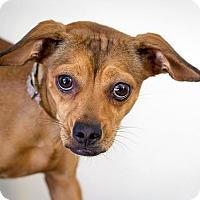 Adopt A Pet :: Bella - Berkeley, CA