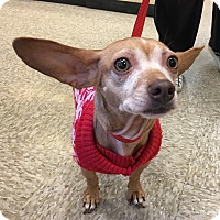 Dachshund/Chihuahua Mix Dog for adoption in Santa Ana, California - Lucy