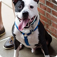 Adopt A Pet :: Z Bo - Arlington, TN