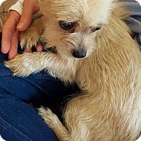Adopt A Pet :: Tulip - Boulder, CO