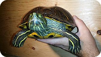 Turtle - Other for adoption in Markham, Ontario - Dolce