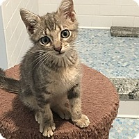 Domestic Shorthair Kitten for adoption in Tampa, Florida - Sasha
