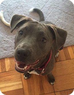 Pit Bull Terrier Dog for adoption in Washington, D.C. - Cupcake