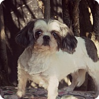 Shih Tzu Dog for adoption in Thorp, Wisconsin - Liberty