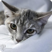 Domestic Shorthair Kitten for adoption in Pendleton, New York - Juliet