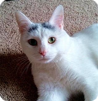 American Shorthair Cat for adoption in Greensburg, Pennsylvania - Kitty Boy (Smudge)