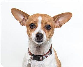 Rat Terrier/Chihuahua Mix Dog for adoption in San Luis Obispo, California - Piper