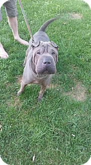 Shar Pei Dog for adoption in Clarkston, Michigan - D'Jango