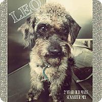 Adopt A Pet :: Leo - Brownsville, TX