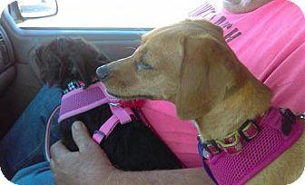 Dachshund Dog for adoption in Aurora, Colorado - Lacey