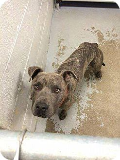 Pit Bull Terrier Mix Dog for adoption in Durham, North Carolina - Dusk