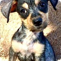 Adopt A Pet :: Fifi (FOSTER TO ADOPT) - Boulder, CO