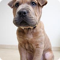 Shar Pei Puppy for adoption in Edina, Minnesota - Sharkey D161585: PENDING ADOPTION