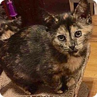 Domestic Shorthair Kitten for adoption in Greensburg, Pennsylvania - Apple