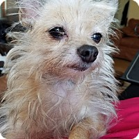 Yorkie, Yorkshire Terrier/Cairn Terrier Mix Dog for adoption in Prosser, Washington - Zsa Zsa - adopted!