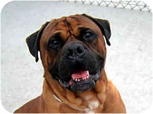 Bullmastiff Mix Dog for adoption in Phoenix, Arizona - WINSTON