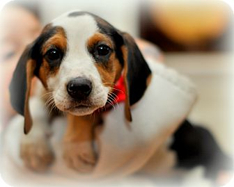 Treeing Walker Coonhound/Beagle Mix Puppy for adoption in Sparta, New Jersey - Oreo