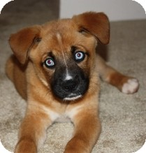 Boxer/Husky Mix Puppy for adoption in Wilmington, Massachusetts - Crystal