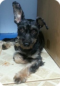 Schnauzer (Miniature) Mix Dog for adoption in Miami, Florida - Baxter