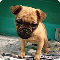 Adopt A Pet :: Mugsy - CHESTERFIELD, MI