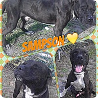 Adopt A Pet :: Sampson - Naples, FL
