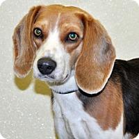 Adopt A Pet :: Leo - Port Washington, NY
