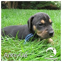 Adopt A Pet :: Ante-up - Novi, MI