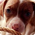 Adopt A Pet :: Bea