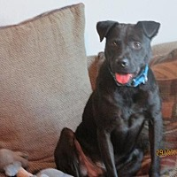 Labrador Retriever Mix Dog for adoption in San Antonio, Texas - A267827 Hank