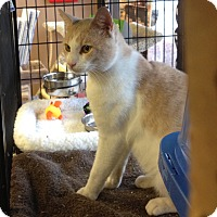 Adopt A Pet :: Creamsicle - Horsham, PA