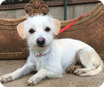 Coton de Tulear/Westie, West Highland White Terrier Mix Dog for adoption in Santa Ana, California - Charlott