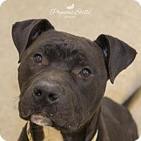 Adopt A Pet :: Koda - Niagara Falls, NY