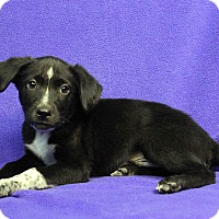 Adopt A Pet :: NUNCIO - Westminster, CO