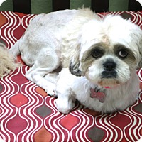 Shih Tzu/Pekingese Mix Dog for adoption in Allentown, Pennsylvania - Hadley