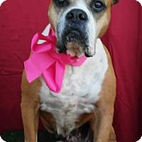 Boxer Mix Dog for adoption in Corona, California - MAYA