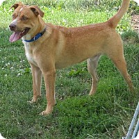 Labrador Retriever Mix Dog for adoption in Lombard, Illinois - Sunny