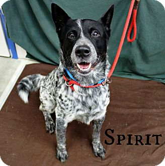 Australian Cattle Dog Mix Dog for adoption in Melbourne, Kentucky - Spirit