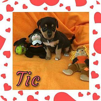 Basset Hound/Rottweiler Mix Puppy for adoption in Houston, Texas - Tic