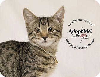 American Shorthair Kitten for adoption in Belton, Missouri - Fallon